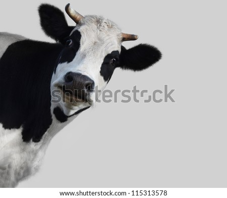 funny cow on gray background