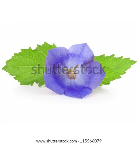 campanula carpatica blue flower