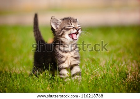 adorable meowing tabby kitten