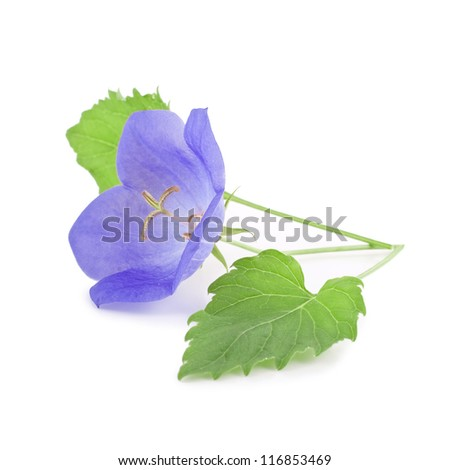 campanula carpatica isolated on