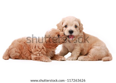 two poodle puppies