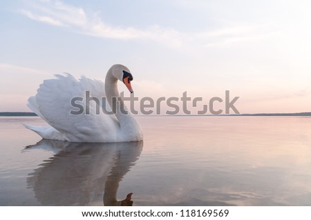 swan on blue lake water in