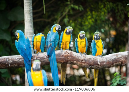 blue and yellow macaw  also
