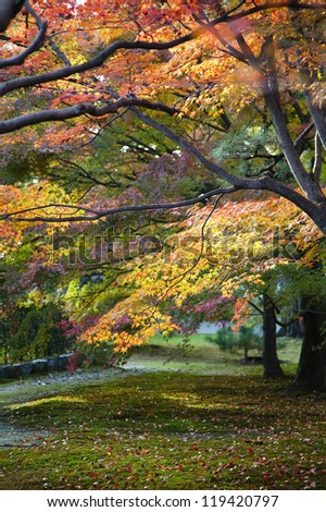 japanese maple trees in the