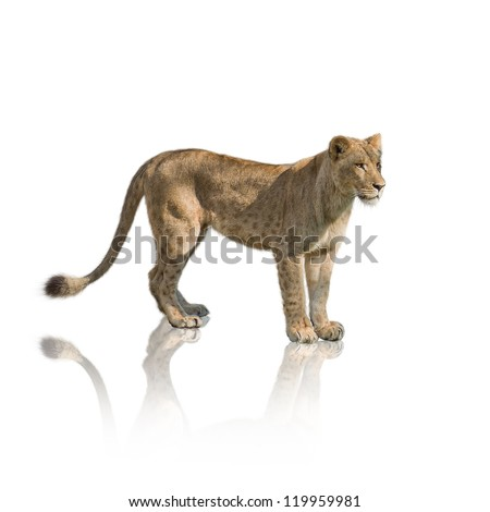 portrait of lion on white