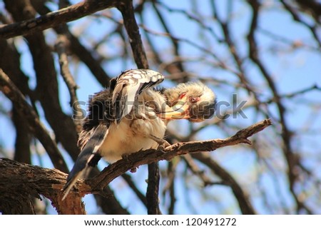 yellow billed hornbill   wild
