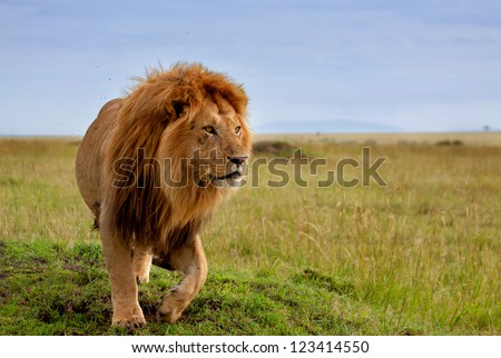 the most beautiful lion of the