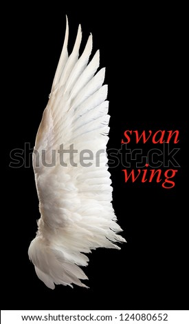 wing white swan close up