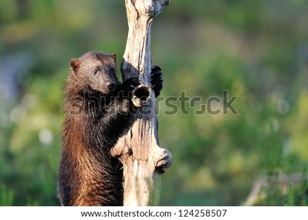 wolverine climb up a tree