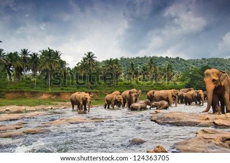 many elephants in the water
