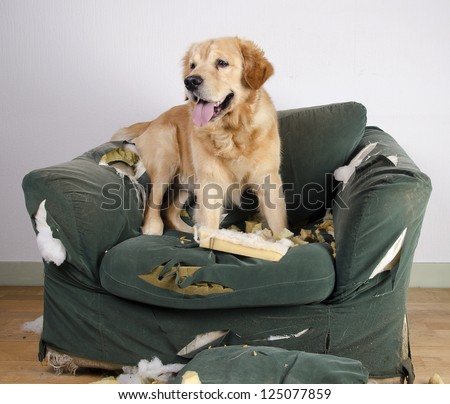 golden retriever dog demolishes