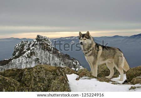 husky dog on top of a mountain