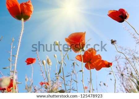 beautiful red poppies on the
