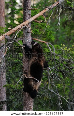 wolverine climbing on tree