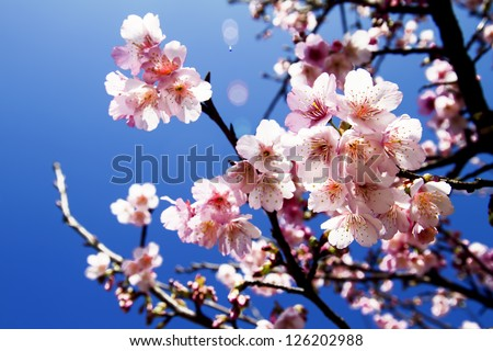 cherry blossoms with nice