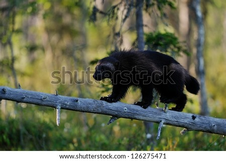 wolverine walking on fallen tree