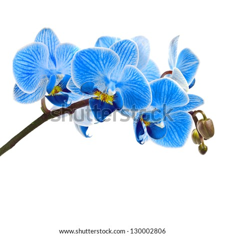 beautiful flower orchid  blue