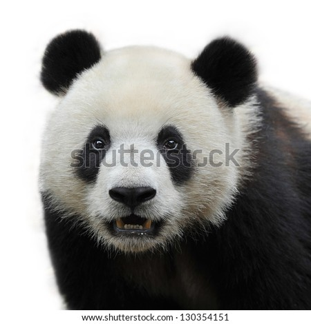 closeup of panda bear isolated