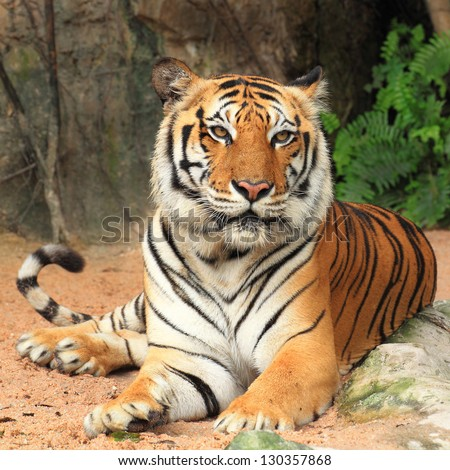big tiger sitting