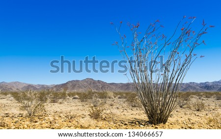 ocotillo with pinto mountains