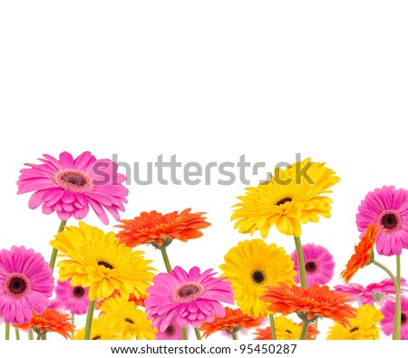 colored gerber flowers isolated