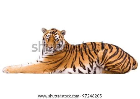 cute tiger cub   isolated on