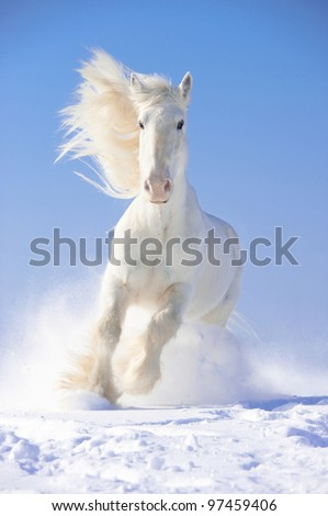 white shire horse stallion runs