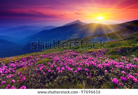 magic pink rhododendron flowers