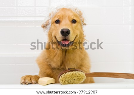 a happy golden retriever dog
