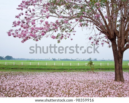 pink trumpet tree blooming in