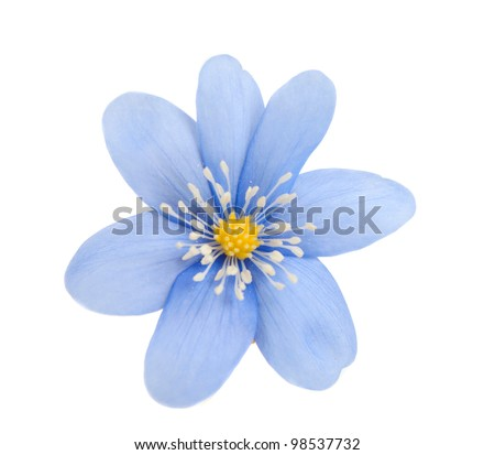 blue flower isolated on white