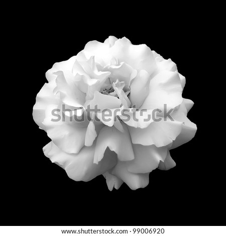 black and white flower rose a