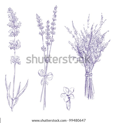 lavender pencil drawing vector