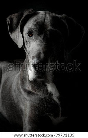 grey great dane dog in an