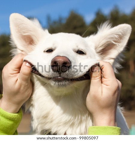 swiss shepherd dog smiles with