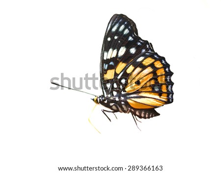 A close-up of Beauty  butterfly on white background
