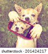 a cute chihuahua in the grass taking a selfie on a cell phone done with a vintage retro instagram filter - stock photo