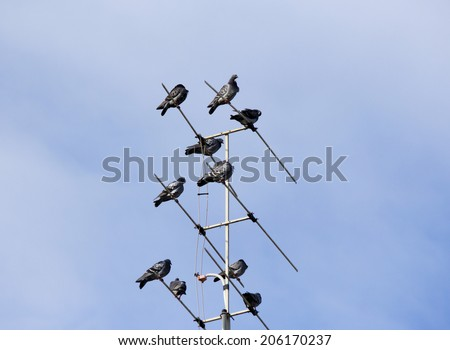 A kit or loft of  grey  pigeons constituting  the bird clade Columbidae sit   TV antenna of an iron roofed suburban house on a  hazy cloudy  but sunny afternoon in winter.