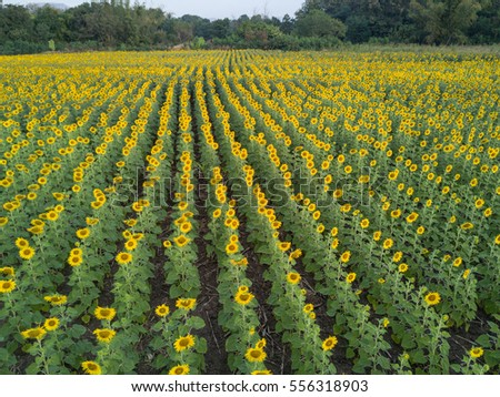 aerial view of bright yellow sunflower at wat khao jeen lae,  Lopburi, Thailand