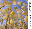 Autumn landscape forest yellow aspen trees birches - stock photo