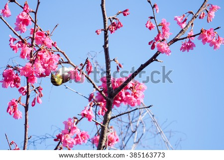 Bird on Pink cherry blossom and sakura