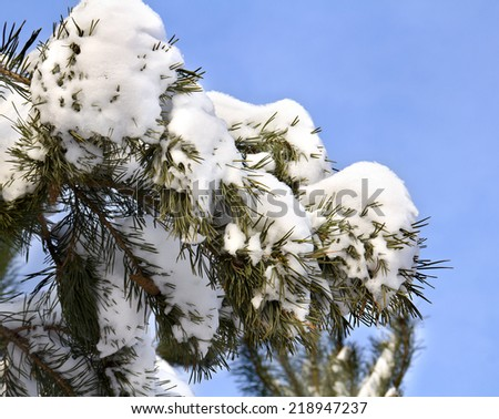Branch of pine with needles covered in snow