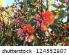Brilliant Blossoms of Eucalyptus ficifolia  West Australian scarlet flowering gum tree in early summer. - stock photo