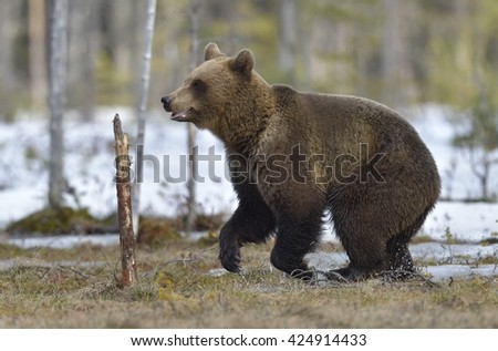 Brown Bear (Ursus arctos) running on a bog in the spring forest.
