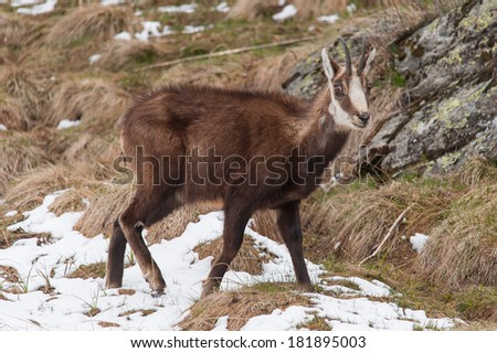 chamois (rupicapra rupicapra) in Alps