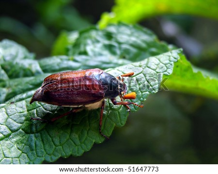 Cockchafer (colloquially called may bug, billy witch, or spang beetle) - Melolontha melolontha
