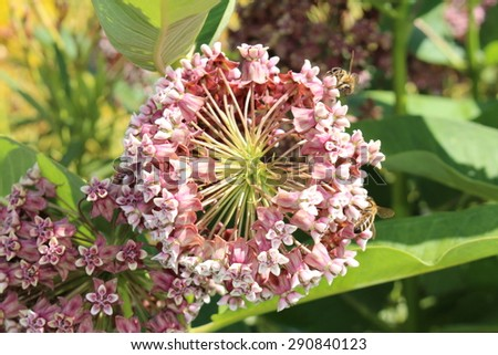 """Common Milkweed"" flowers (or Butterfly Flower, Silkweed, Silky Swallow Wort, Virginia Silkweed) in Innsbruck, Austria. Its scientific name is Asclepias Syriaca, native to USA, Canada and Europe."