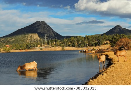cow elks  in lake estes,  estes park, colorado