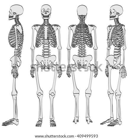 human skeleton set vector illustration stock vector 478817890, Skeleton