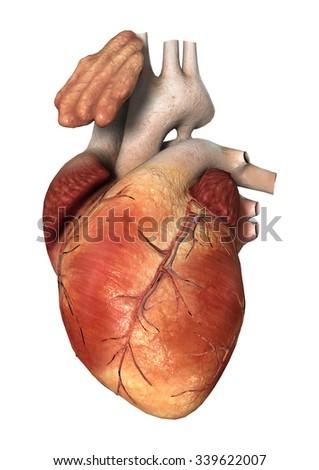 human heart stock illustration 13863634 - shutterstock, Muscles
